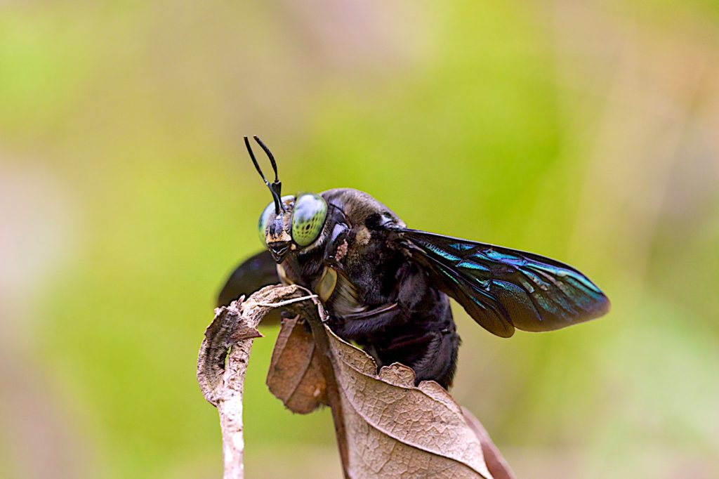 Carpenter Bee: Canon EF 100mm f/2.8L IS ISO 800 f/8 1/250s